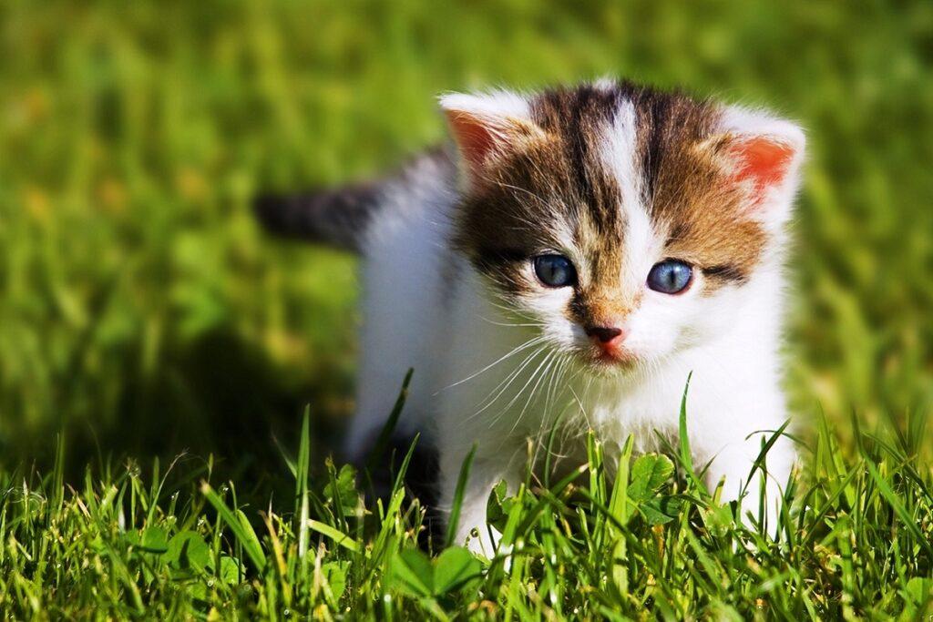 gattino tricolore su un prato