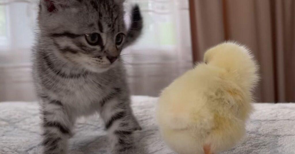 cucciolo di gatto gioca con un pulcino