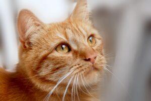 gatto rosso guarda in alto