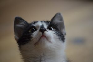 gattino bianco e nero guarda in alto