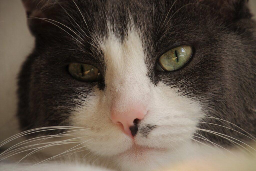 gatto con macchia sul naso