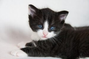 gattino cucciolo bianco e nero