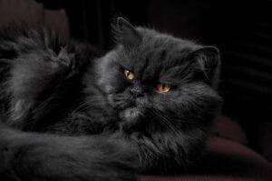 gatto persiano nero sdraiato