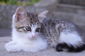 gattino bianco e grigio
