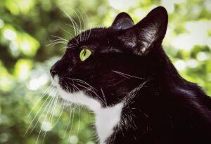 gatto bianco e nero di profilo