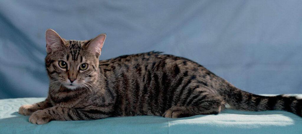 gatto grigio sdraiato