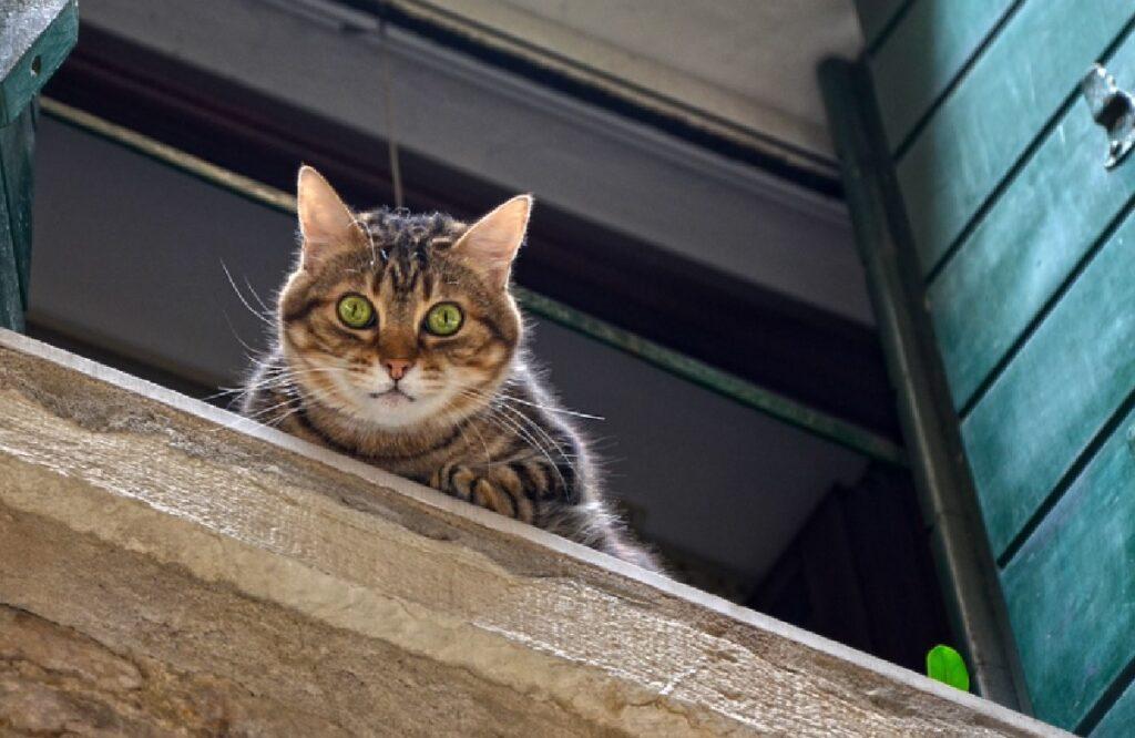 gatto soriano affacciato finestra