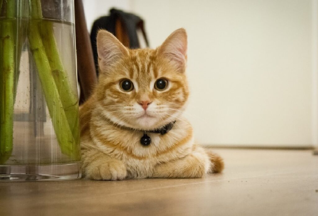 gatto rosso collare nero