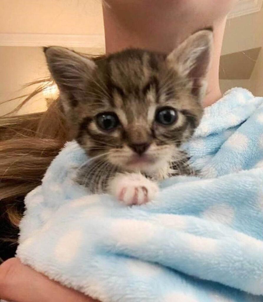 gattino grigio con 3 zampe