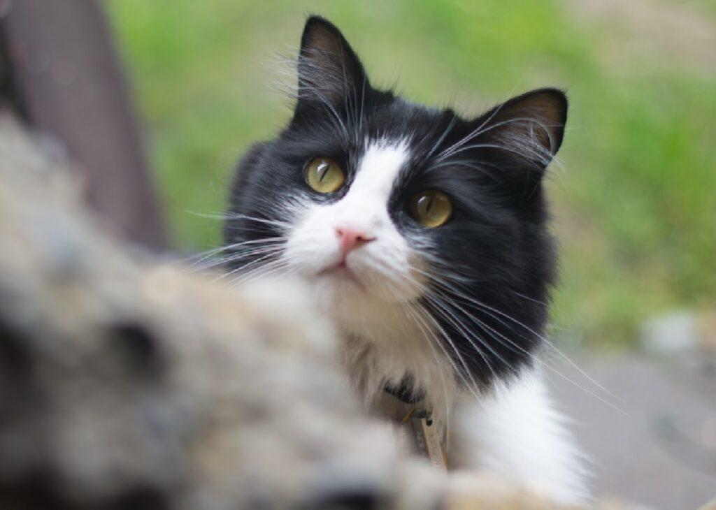 gatto occhi gialli penetranti