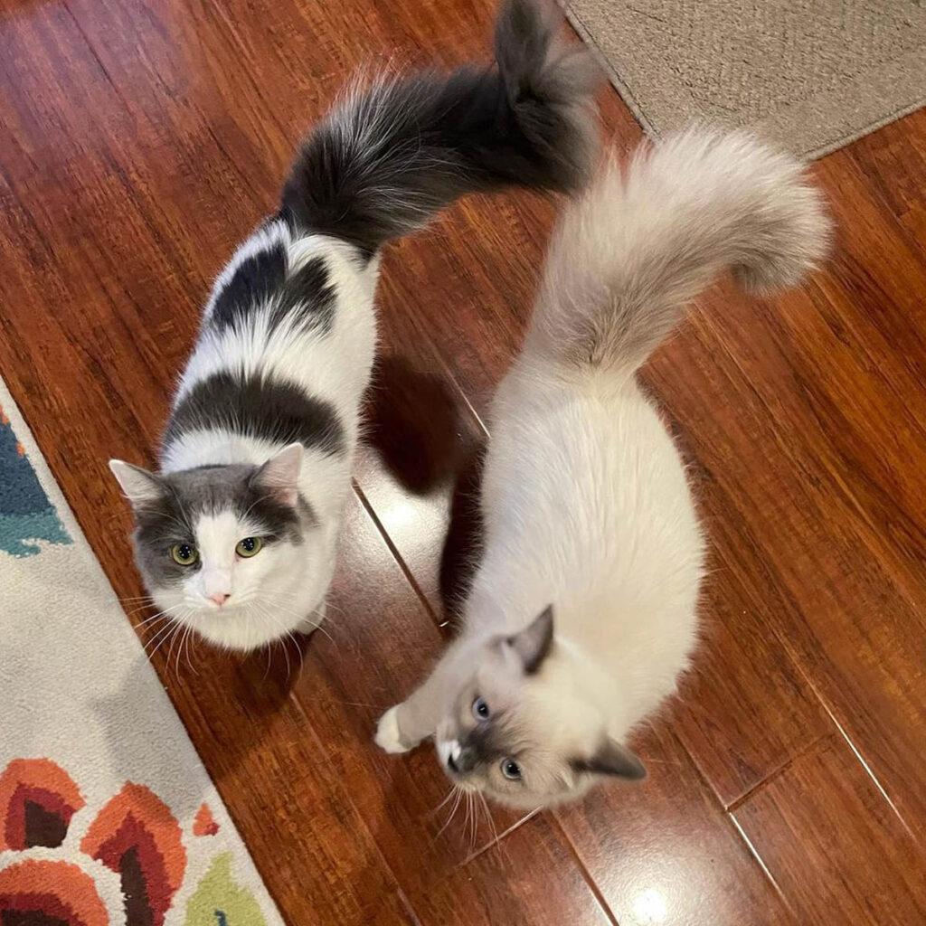 Gatte grigia e bianco nera