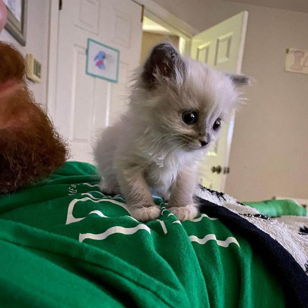 gattina grigia