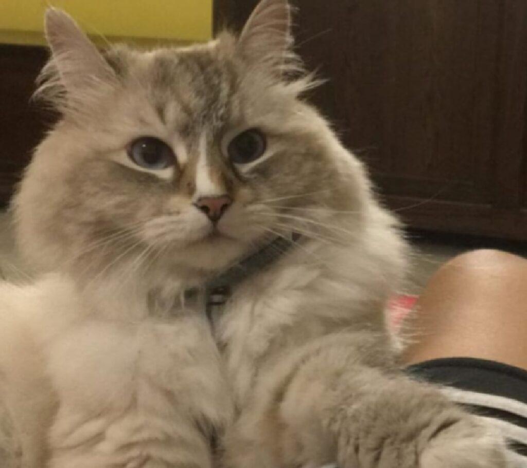 gatto merlino collare con ciondolo