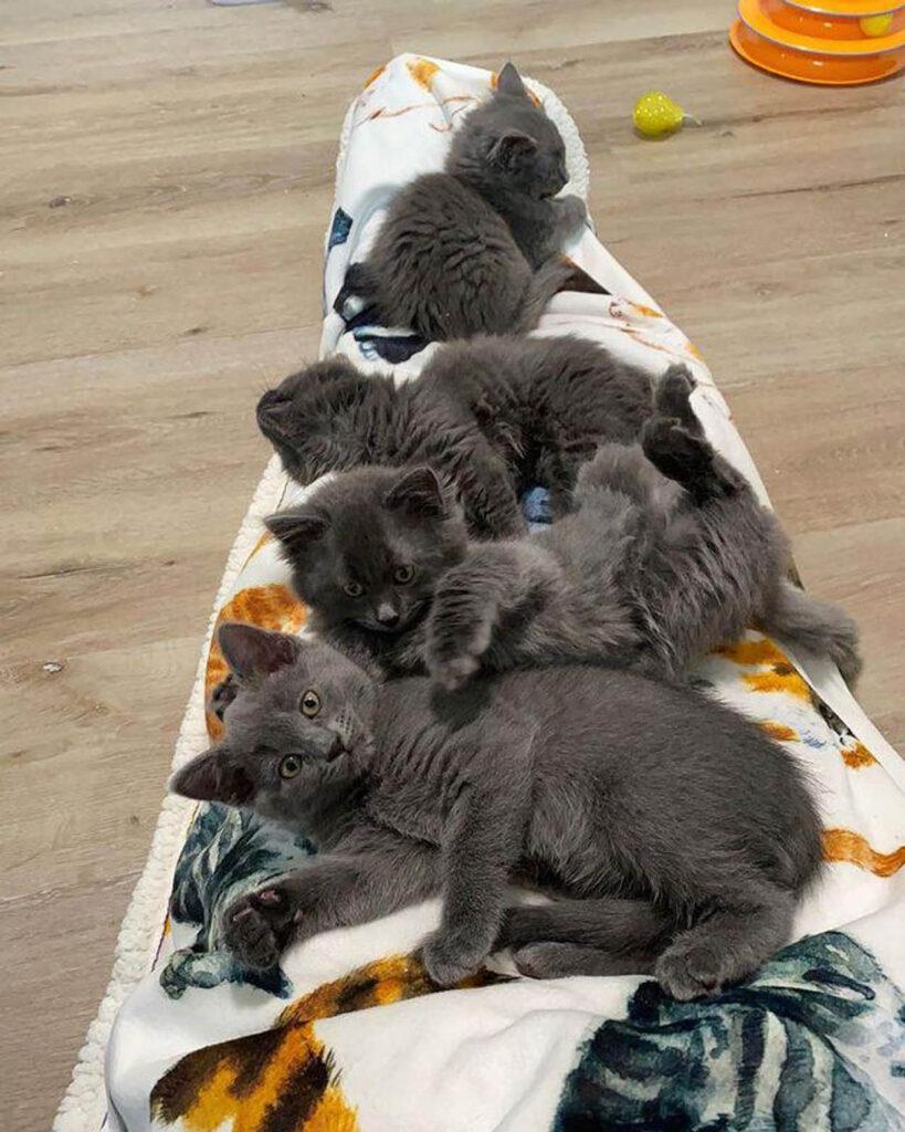 cucciolata di gattini grigi