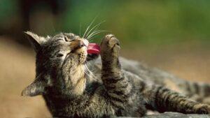 gatto si lecca la zampa