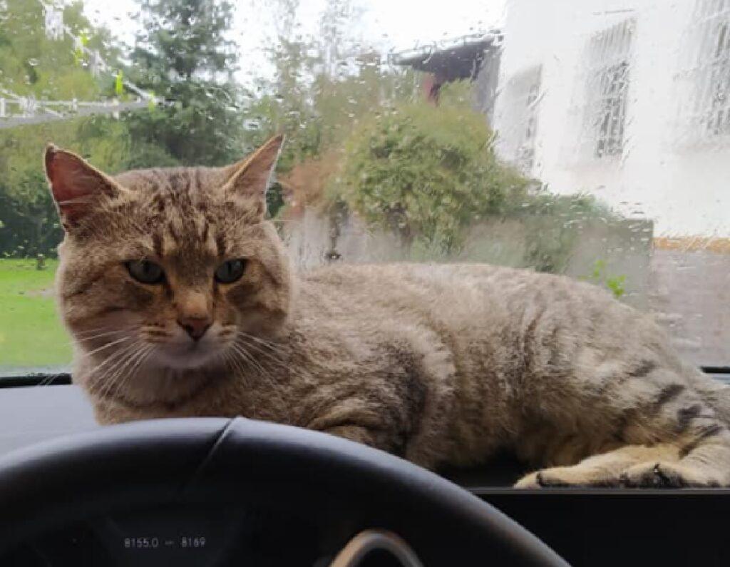 gatto soriano vicino colante auto