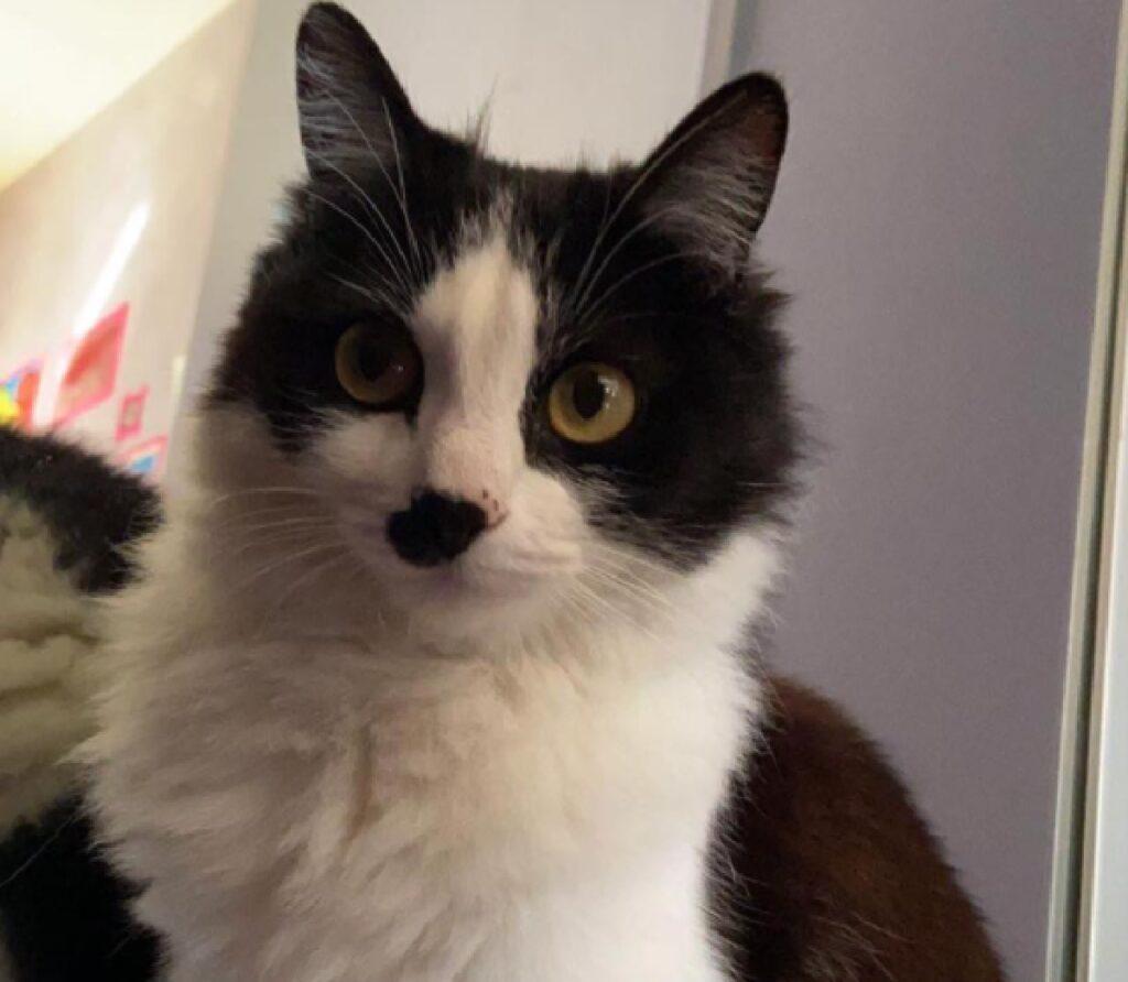 gatta bianca nera occhi gialli