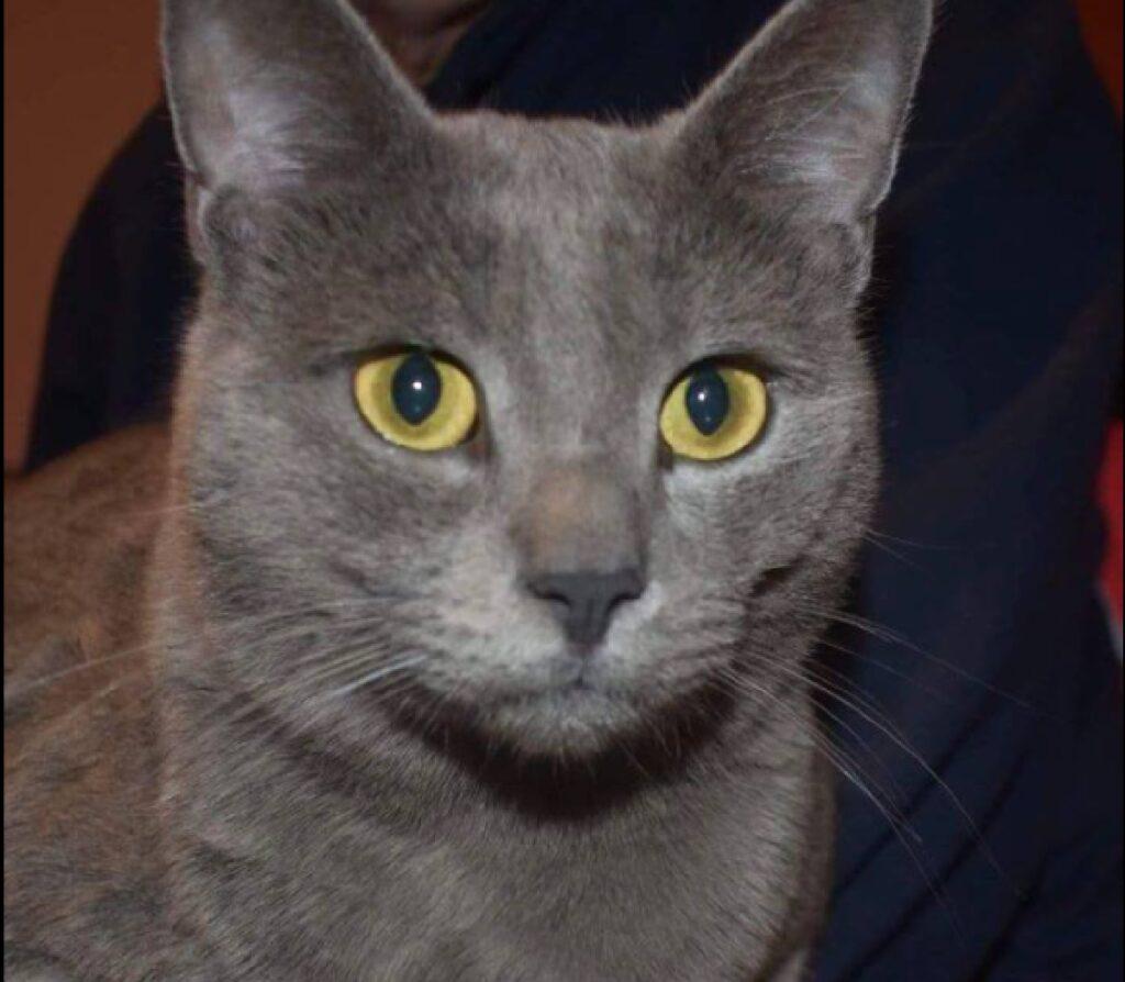 gatto pusciok certosino occhi aperti