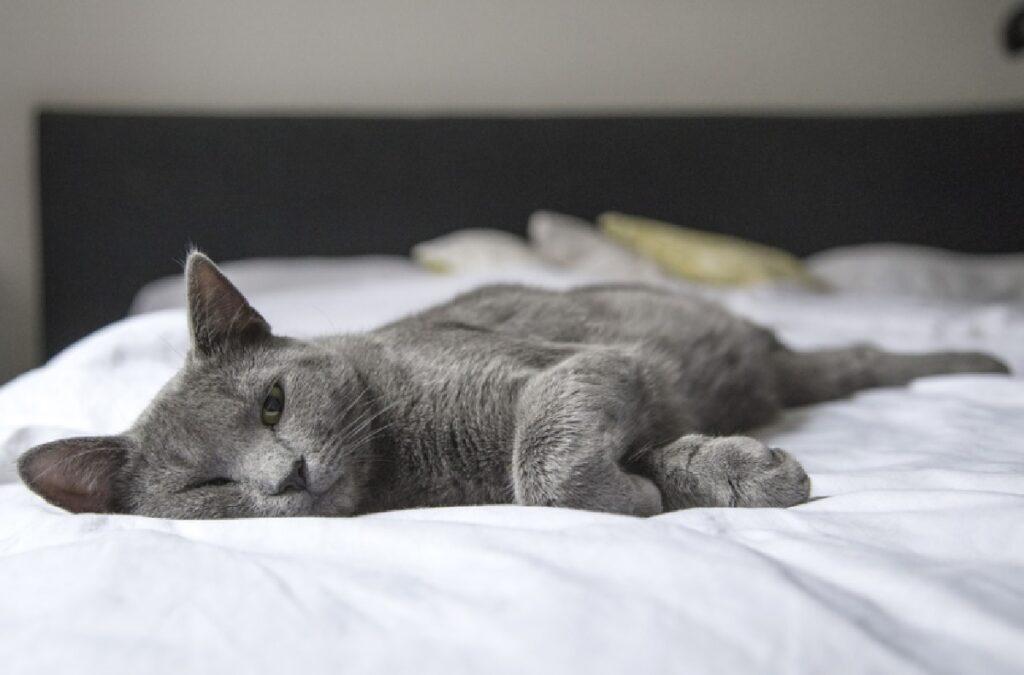 gatto schiaccia pisolino su letto bianco