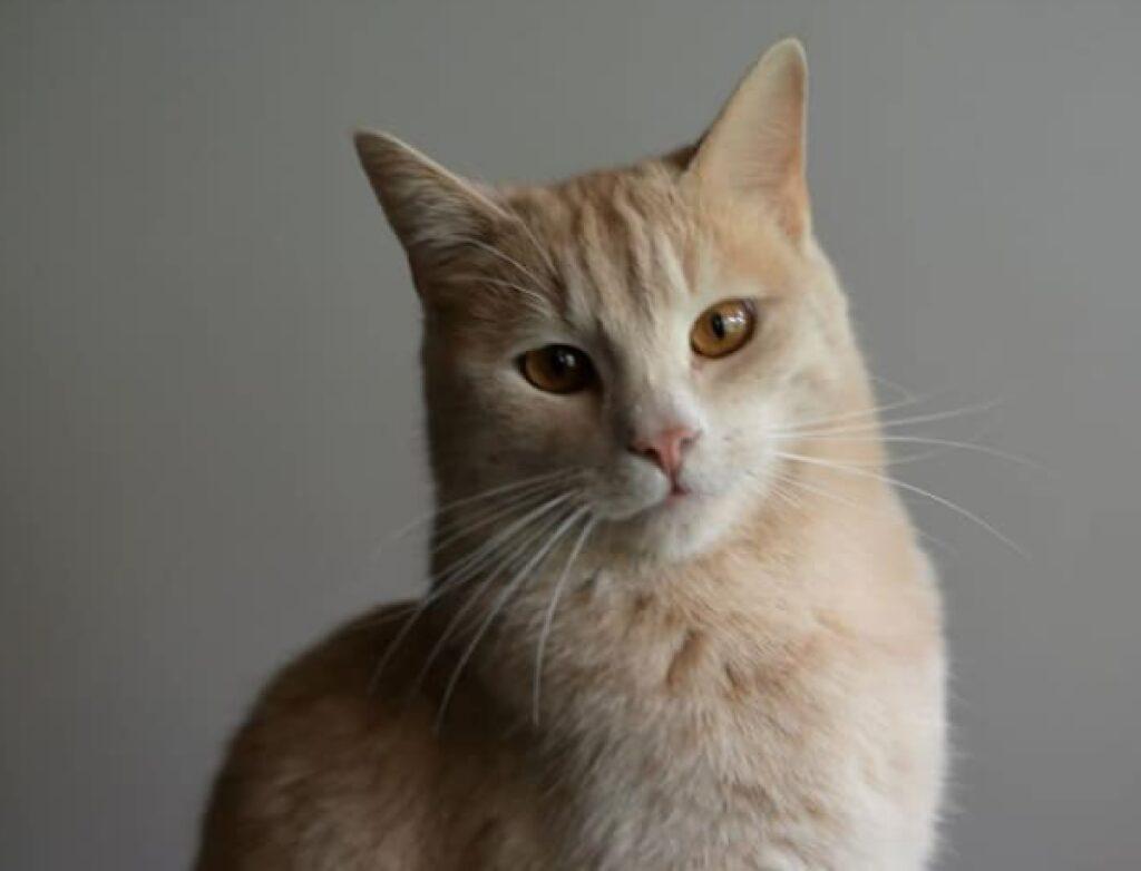 gatto color cipria guarda camera