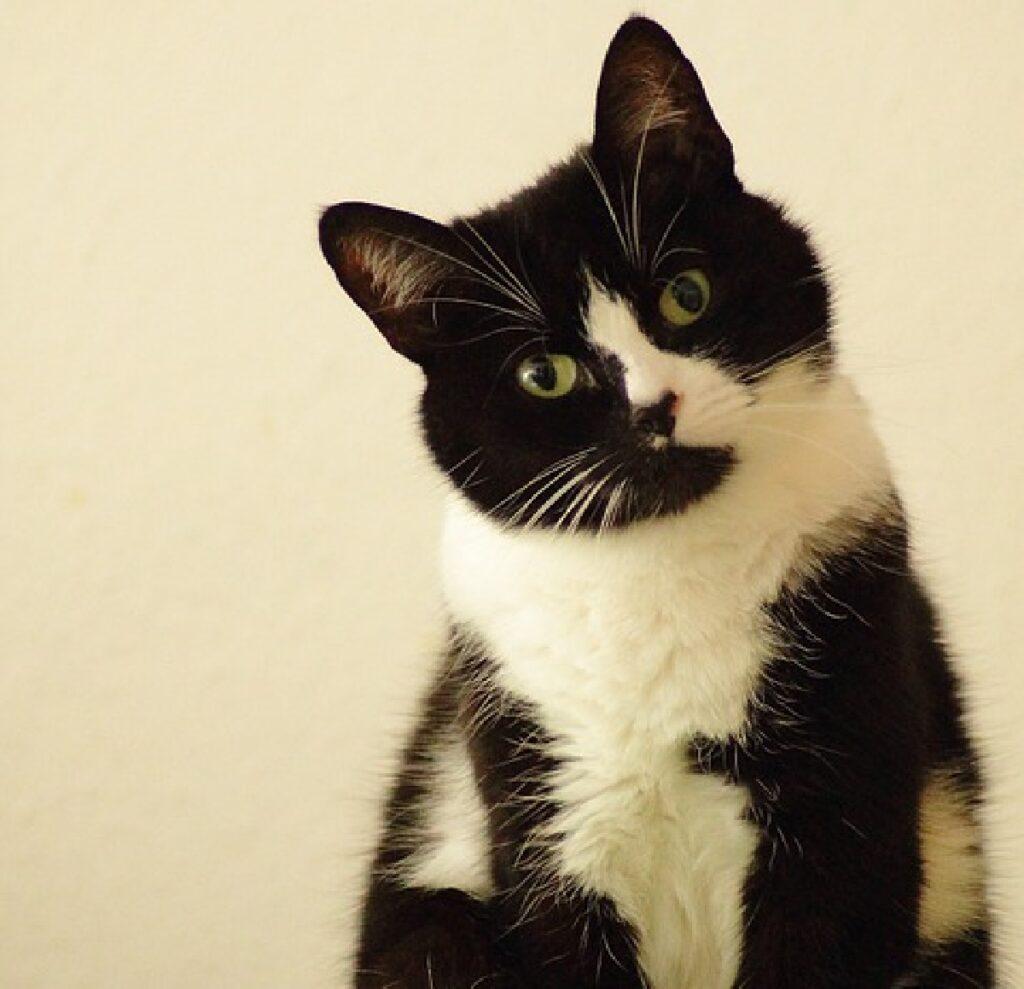 gatto chiazze nere e bianche