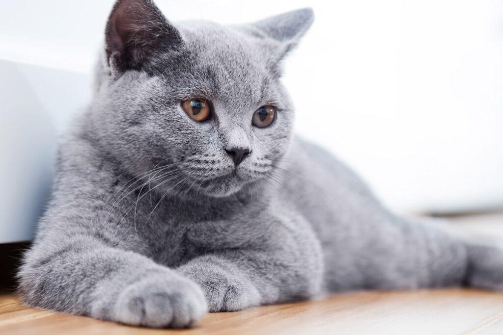 gatto si rilassa a casa