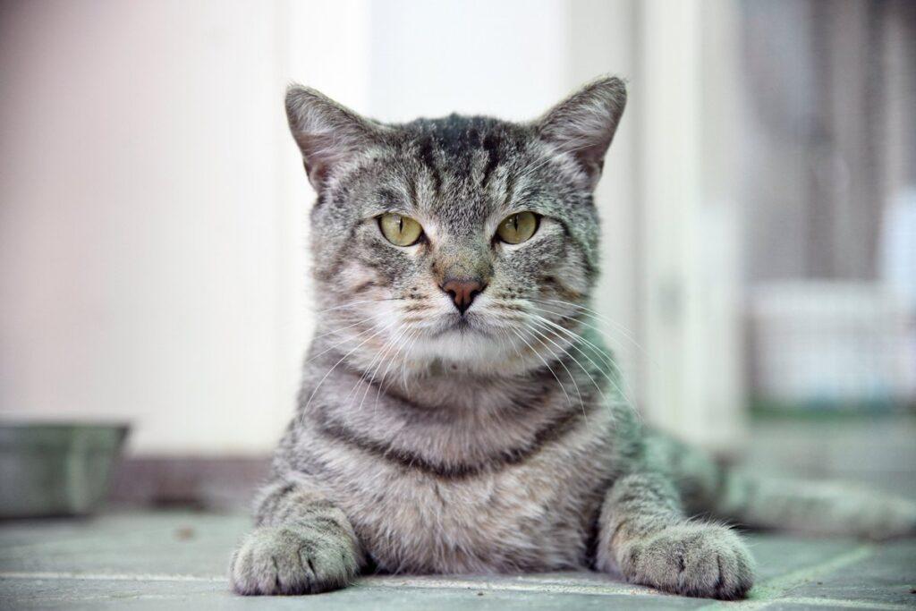 gatto tigrato grigio