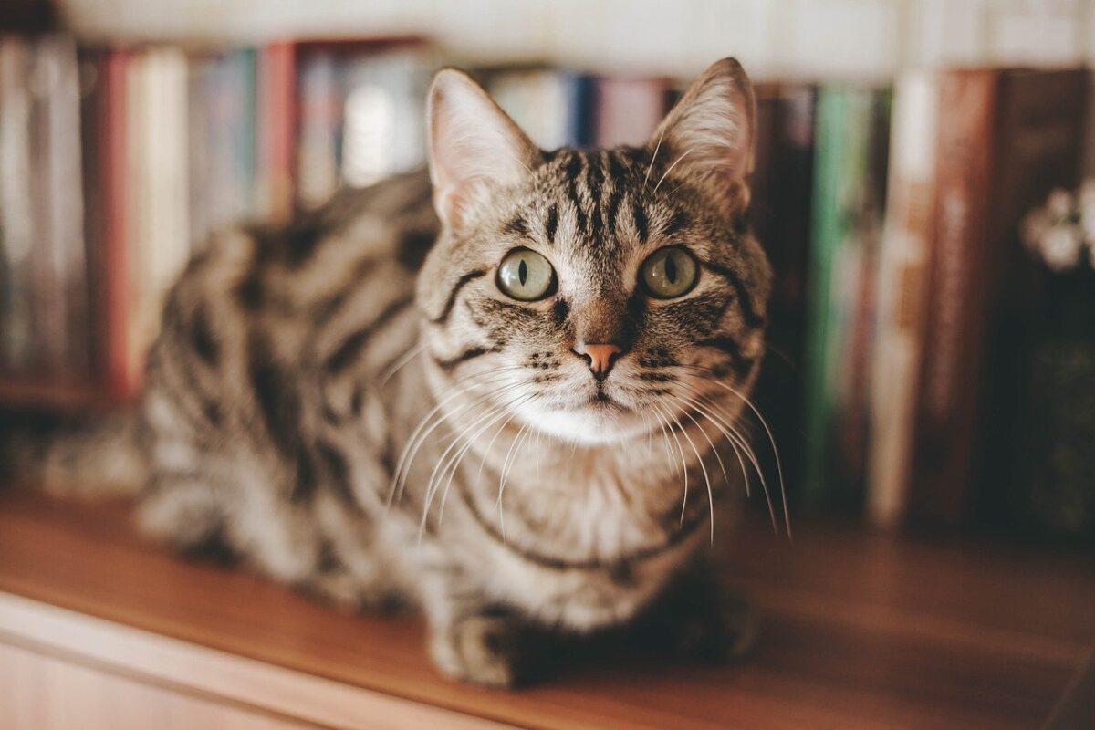 gatto sulla libreria