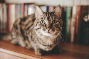 gatto su una libreria
