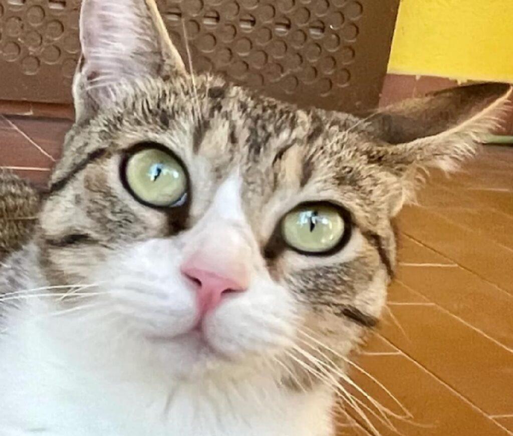 gatta amy occhi verde chiaro