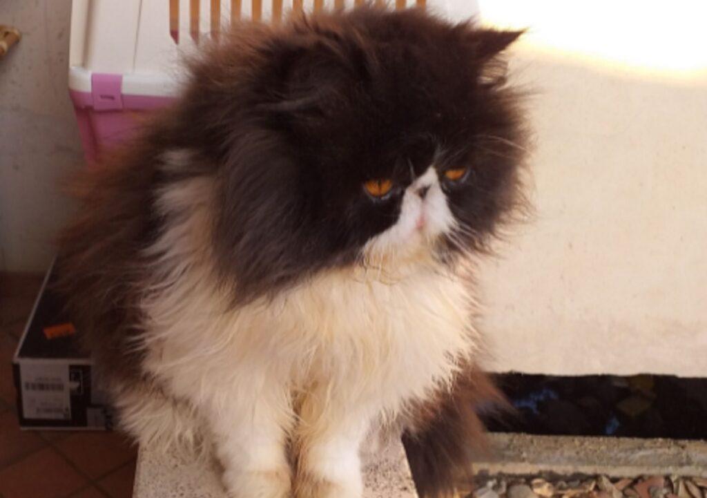 gatto silvestro pelo lungo