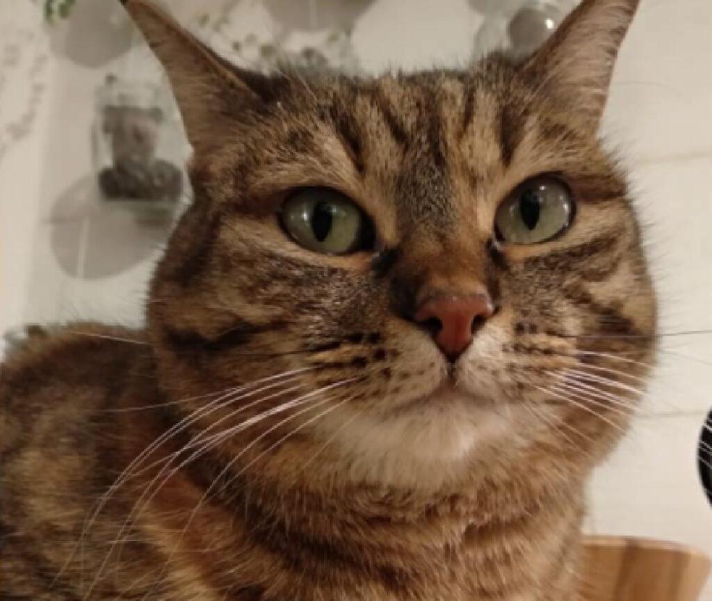 gatta primo piano occhi verdi