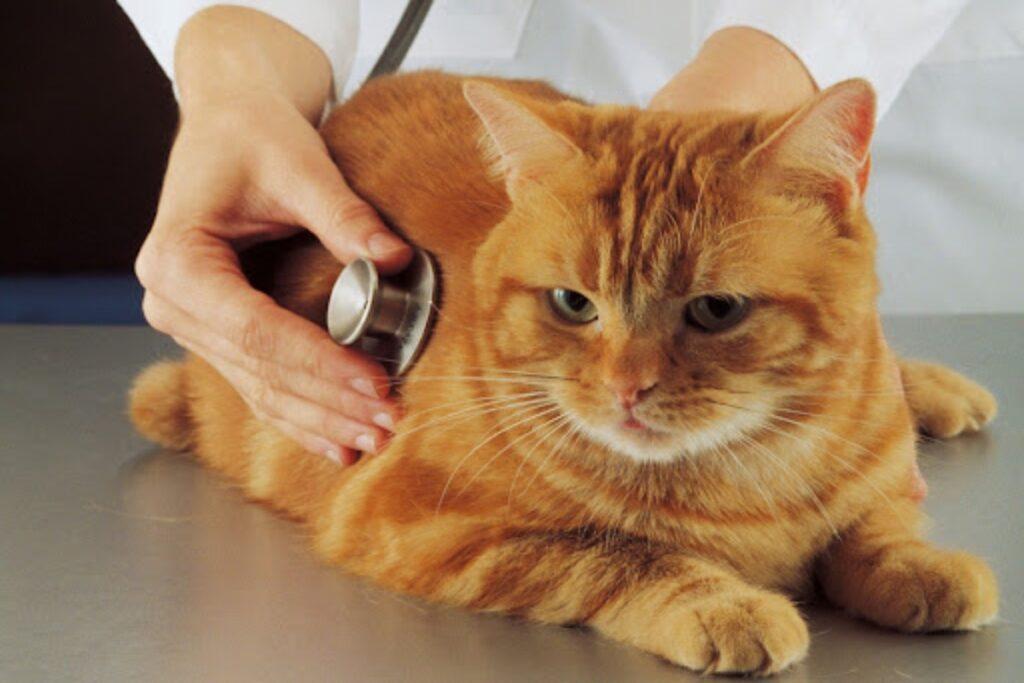 stetoscopio su gatto