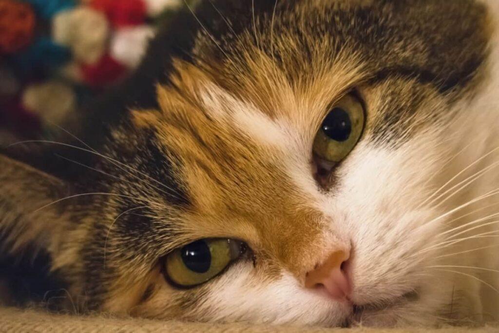 gatto con occhi semichiusi