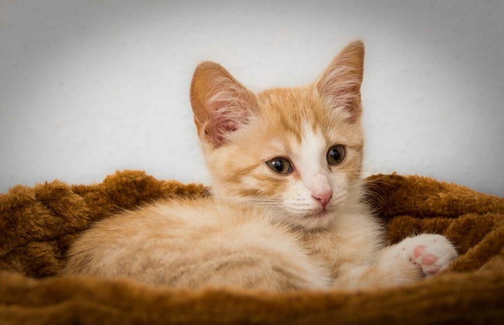gattino dolce arancione