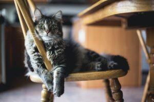micio sulla sedia