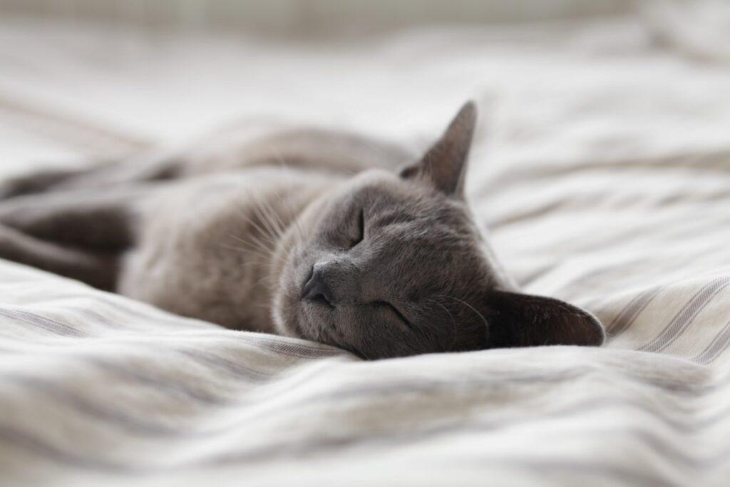 gatto grigio dorme
