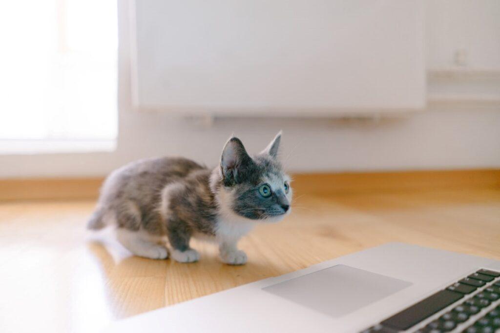 gatto pc guarda
