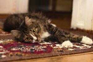 micio sul tappeto