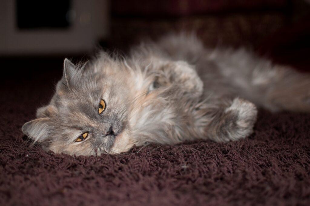 felino peloso grigio