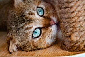 felino occhi guarda