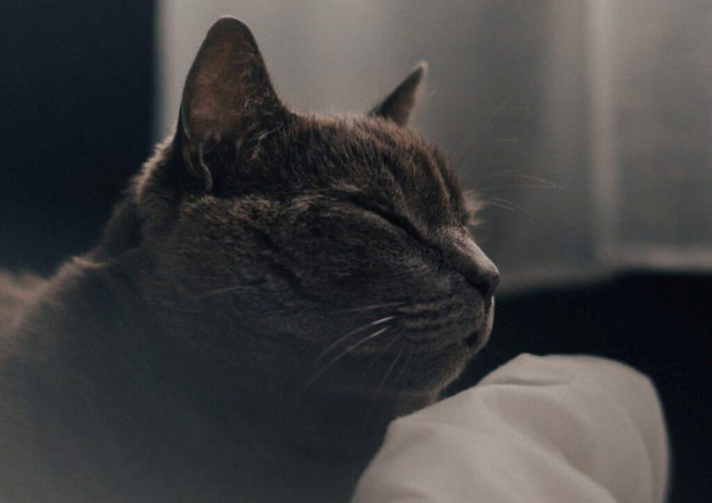 micio assonnato dolce