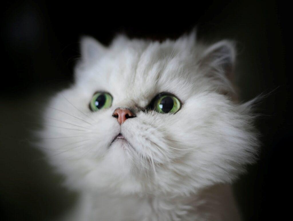 gatto bianco peloso