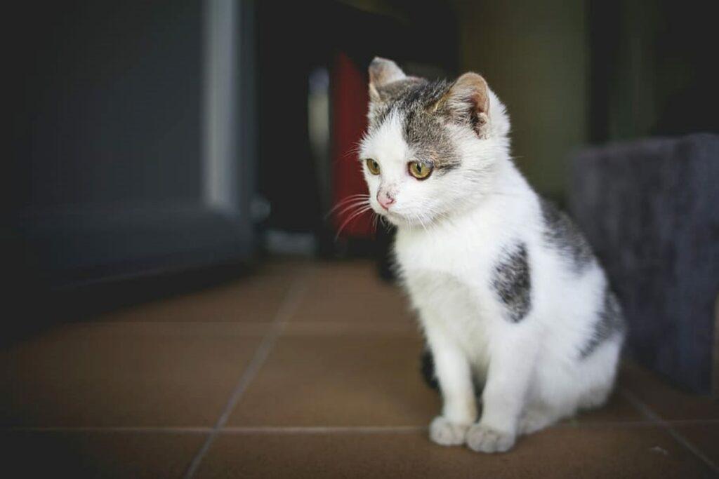 gattino casa seduto
