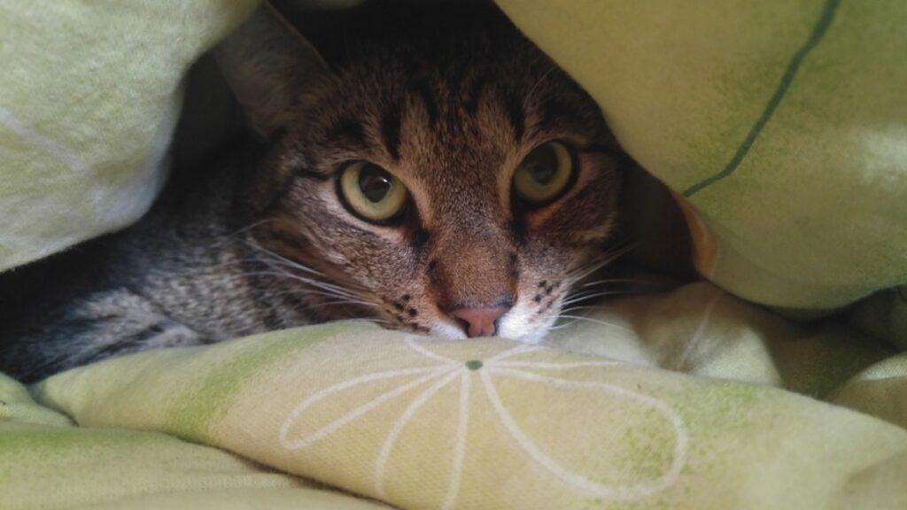 gatto sotto coperte
