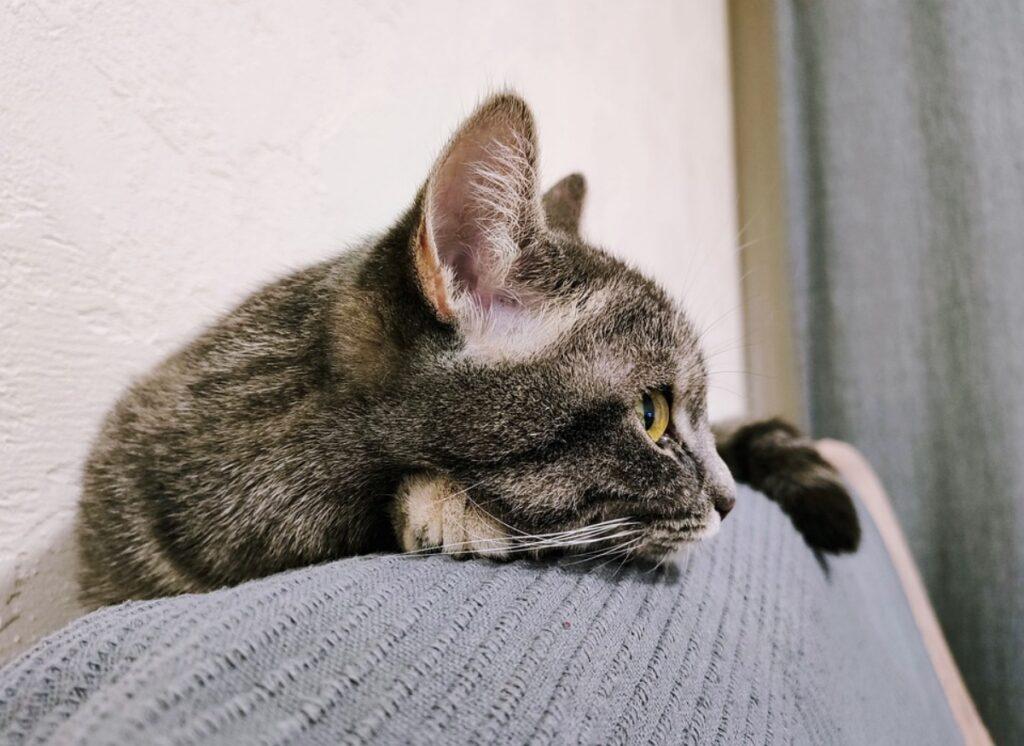 felino guarda divano