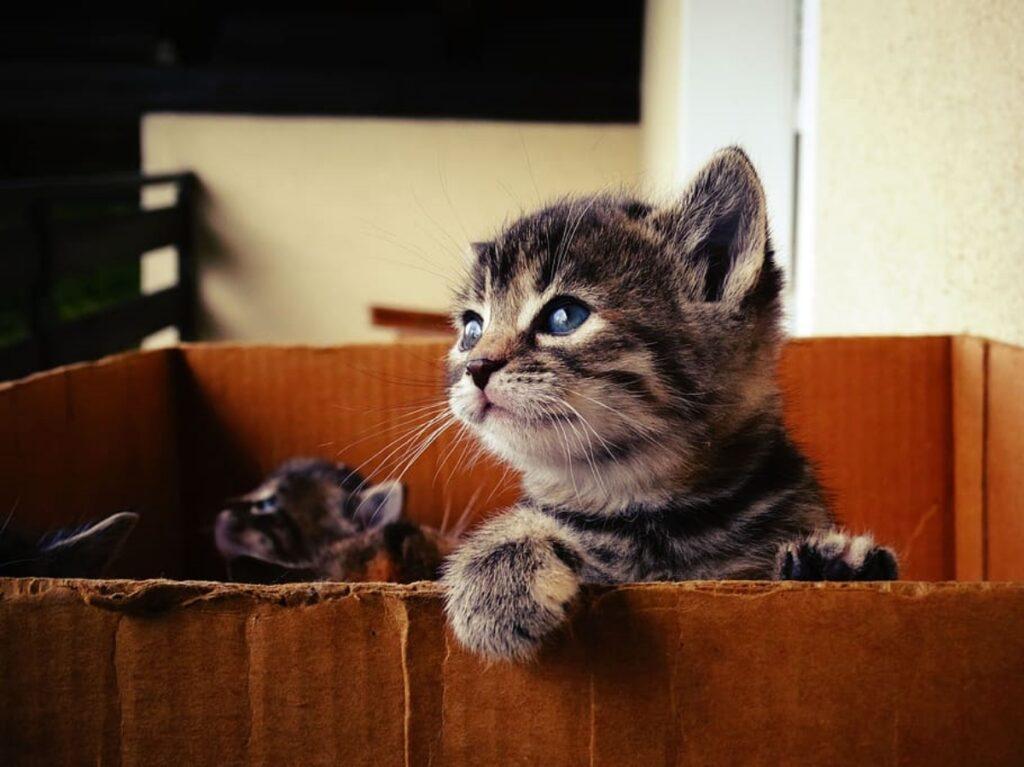 gattini scatola cartone