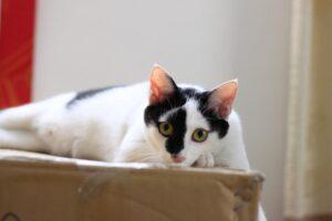 gatto bianco macchia