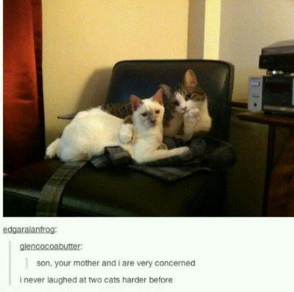 gatti coppia buffa