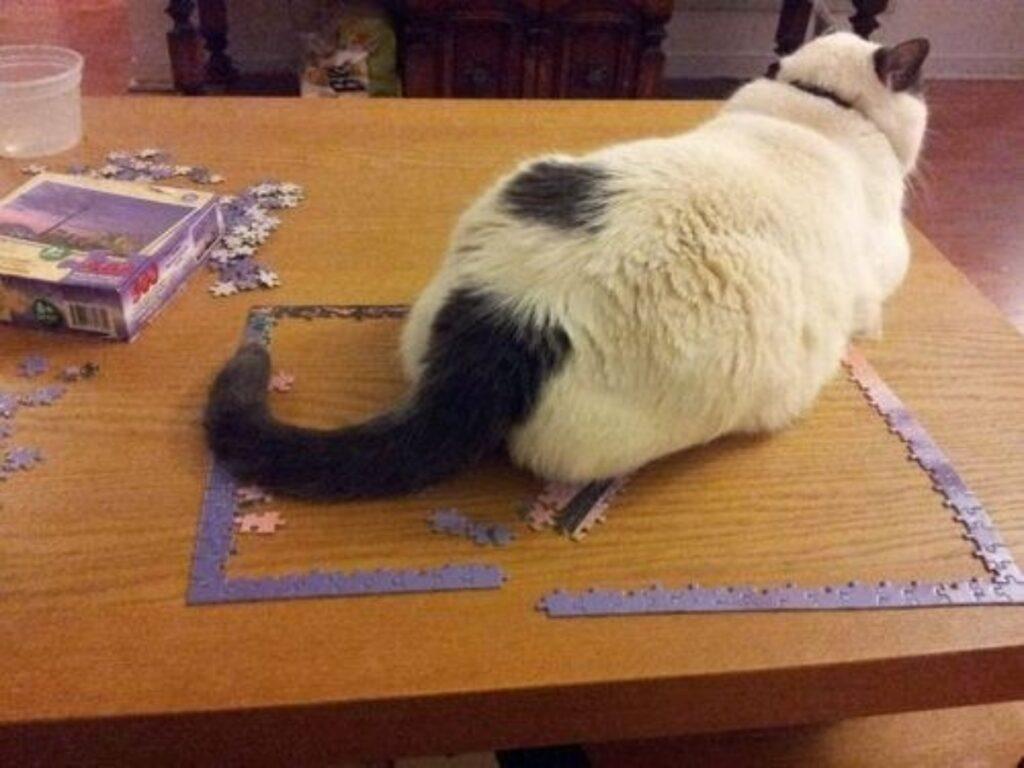 felino coda bianco
